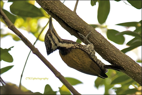 Golden Flameback woodpecker (Female)