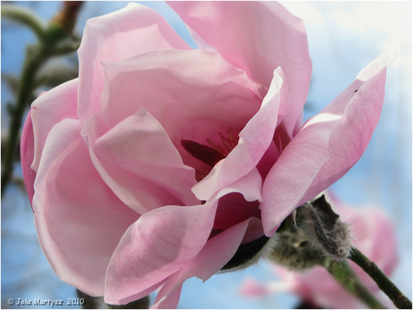 flower, magnolia, spring