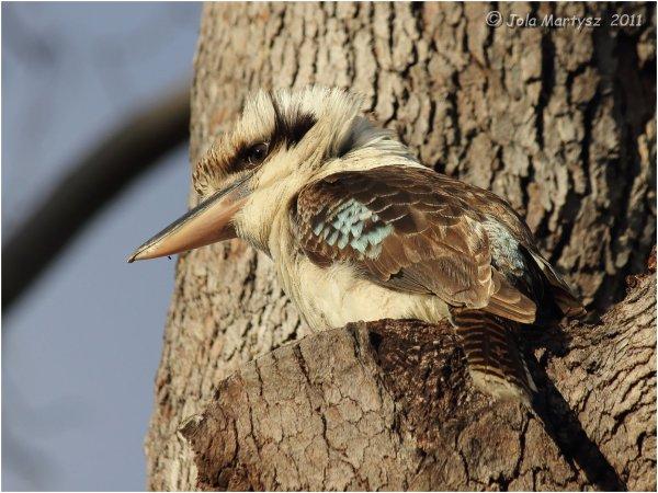 bird, Kingfisher