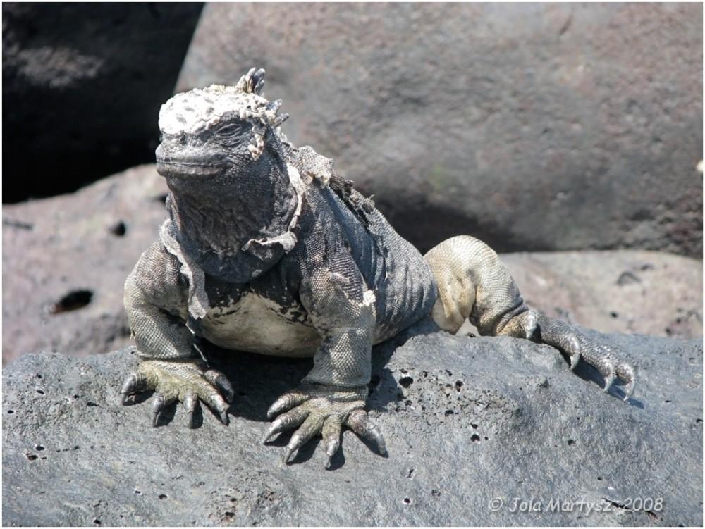 iguana, galapagos, nature, lizard, animal