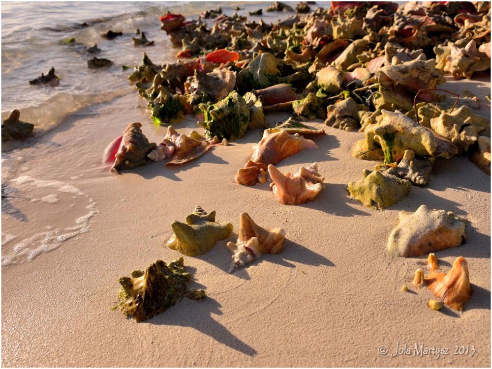 conch sea shells sea ocean beach tropic post card