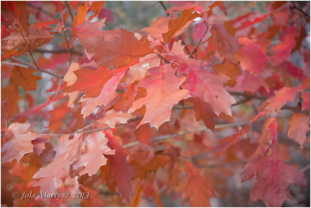 oak, leafs, leaf, autumn, canada, quebec, nikon, r