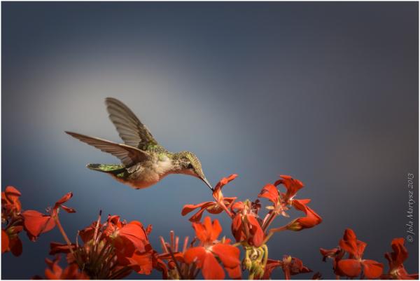 A female Ruby-throated Hummingbird.