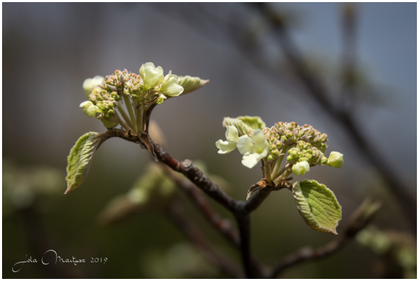 Spring buds in the woods in Quebec, Canada.