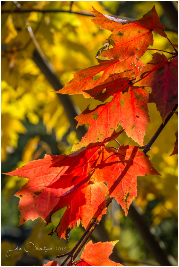 Autumn leaves of a Red Maple tree. Captured in Que