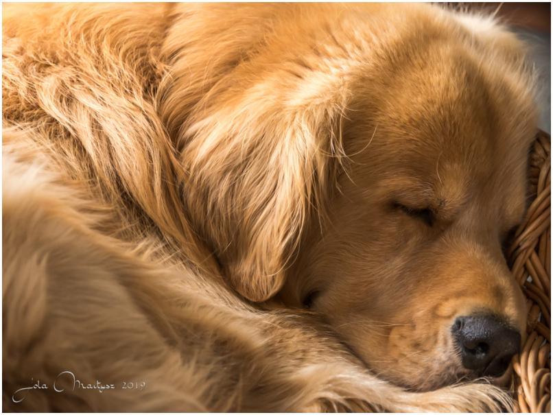My Buddy (Golden Retriever) sleeping calmly in his