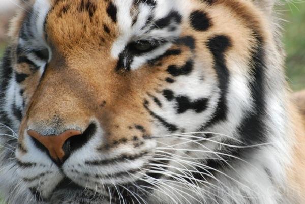Franklin Park Tiger