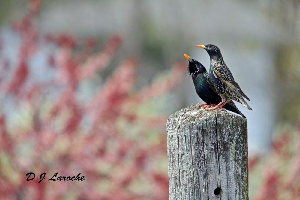 Uropean Starling