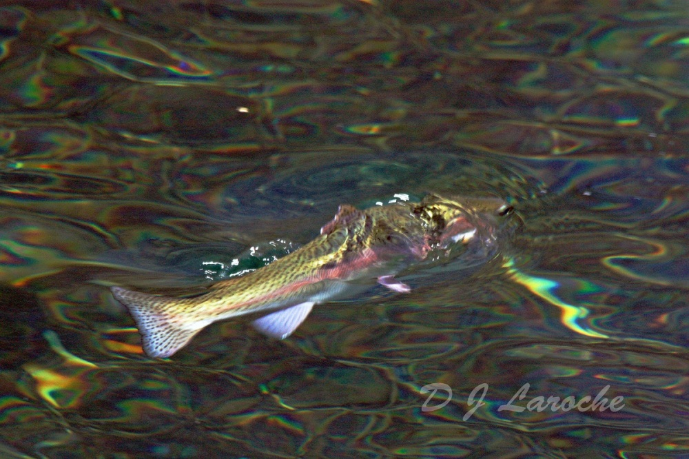 Rianbow Trout