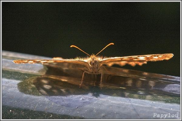 Tircis (Pararge aegeria)