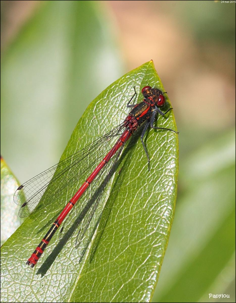 Agrion au corps de feu (Pyrrhosoma nymphula)