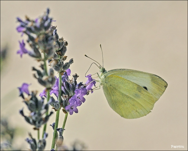 Pieris sp.