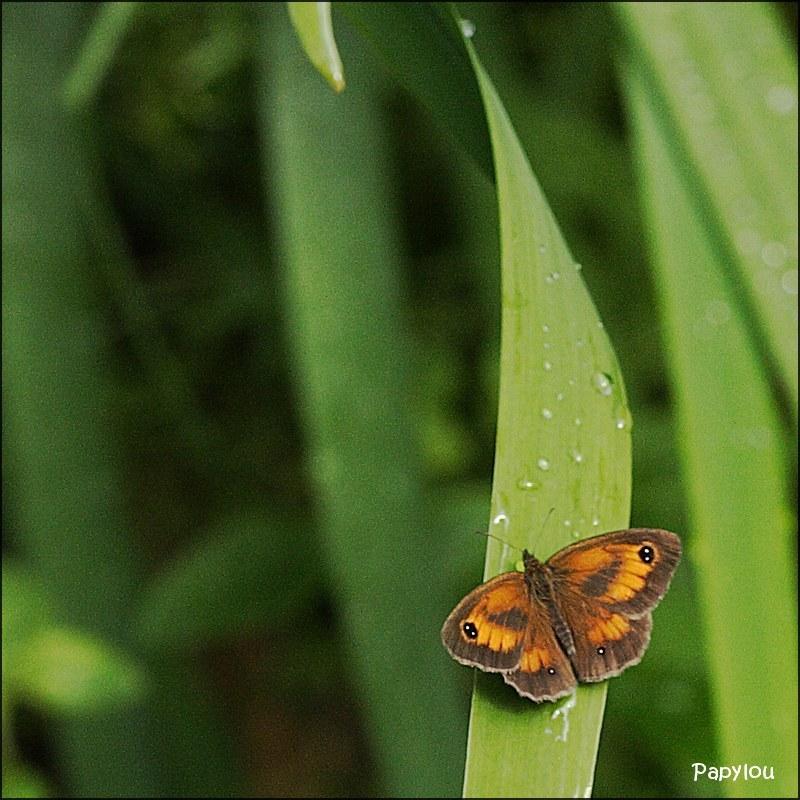 Amaryllis (Pyronia tithonus)