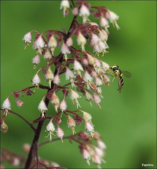 Long Hoverfly (Sphaerophoria Scripta)