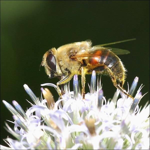 Butineur (Pollen-gathering)