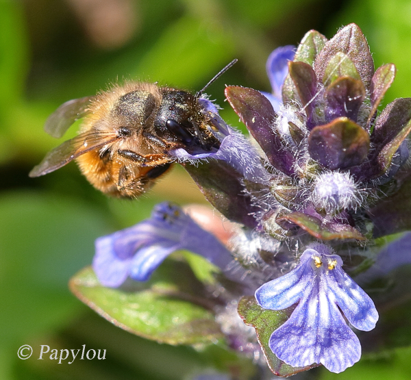 "Nectar gathere on ""Ajuga reptans"" flower"