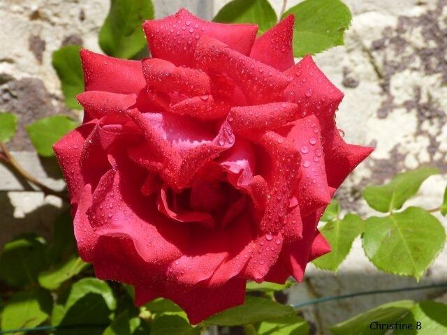 La rosée sur la rose