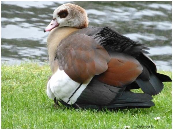 canard au bord d'un étang
