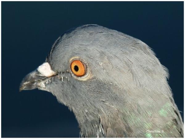 oeil du pigeon