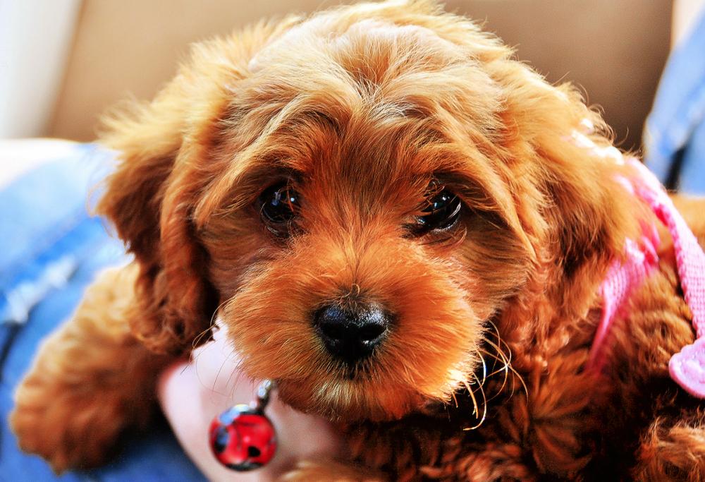 Nyu-Nyu The Poodle