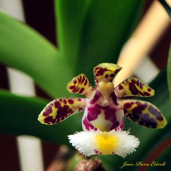 Orchidée 2/2