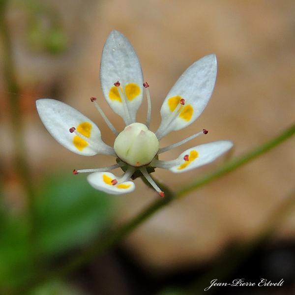 Fleur étoilée 2/2
