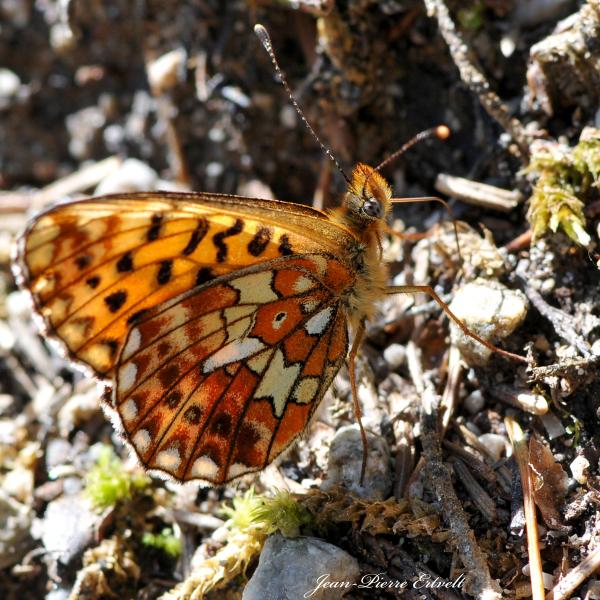 Collier de papillon
