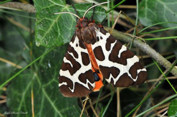Ecaille martre - Papillon de nuit