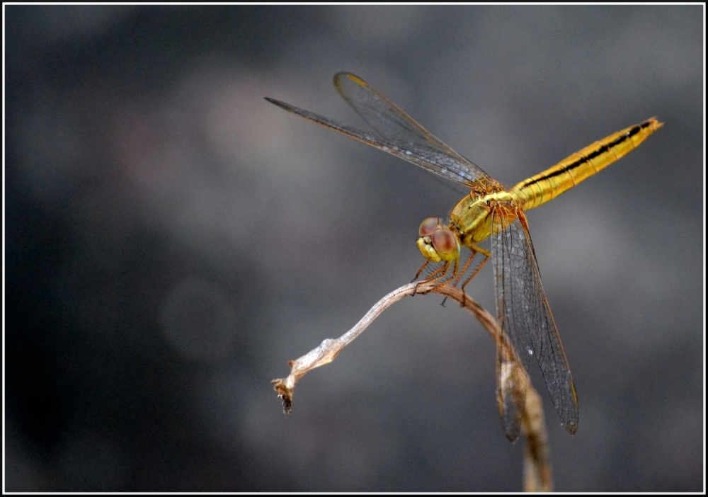 A Dragonfly stopping by