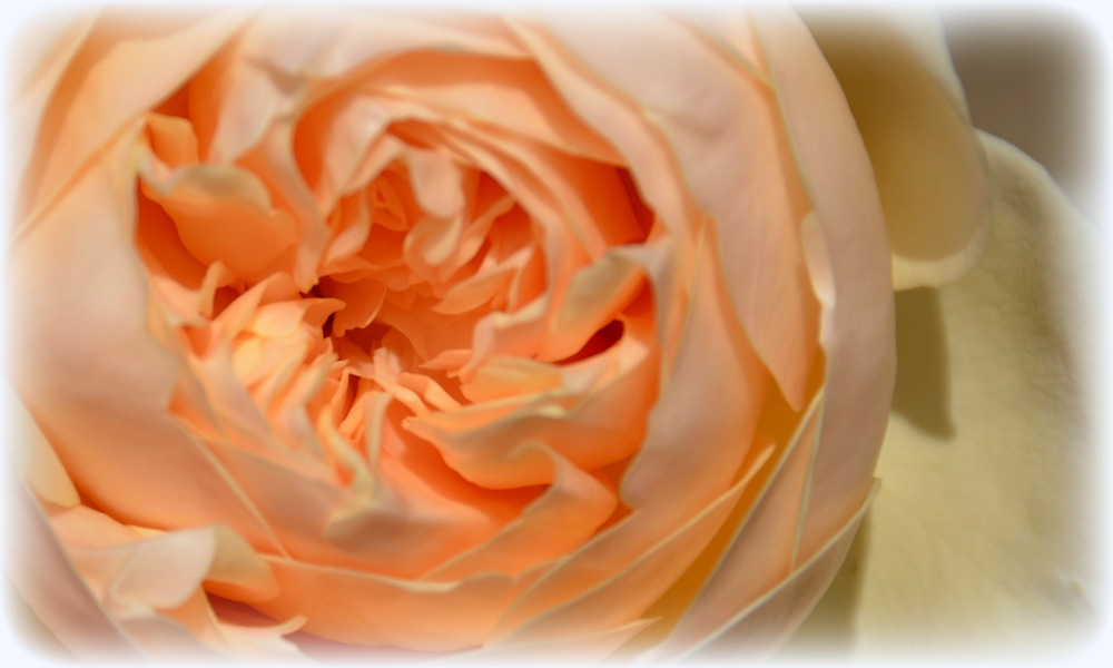 une rose du jardin