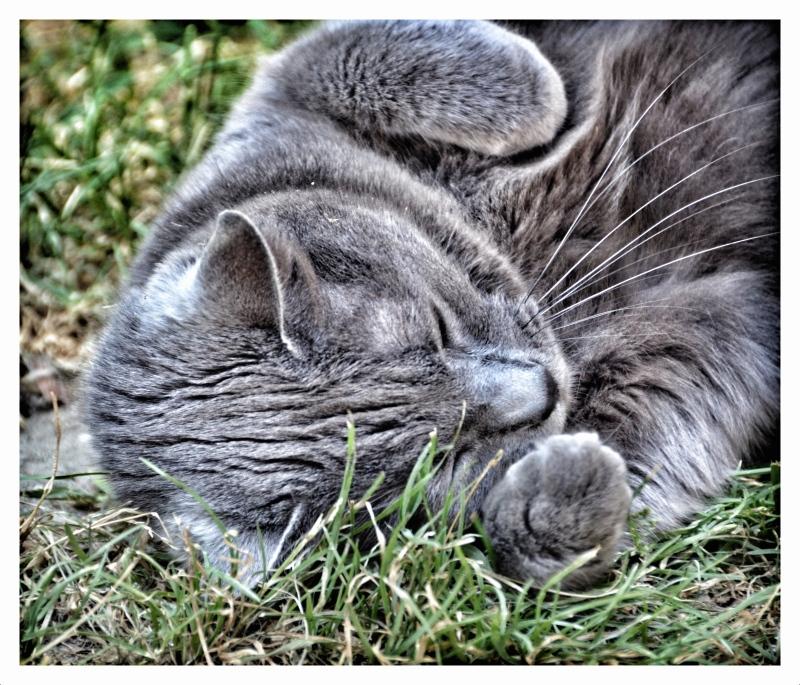 chat câlin chartreux