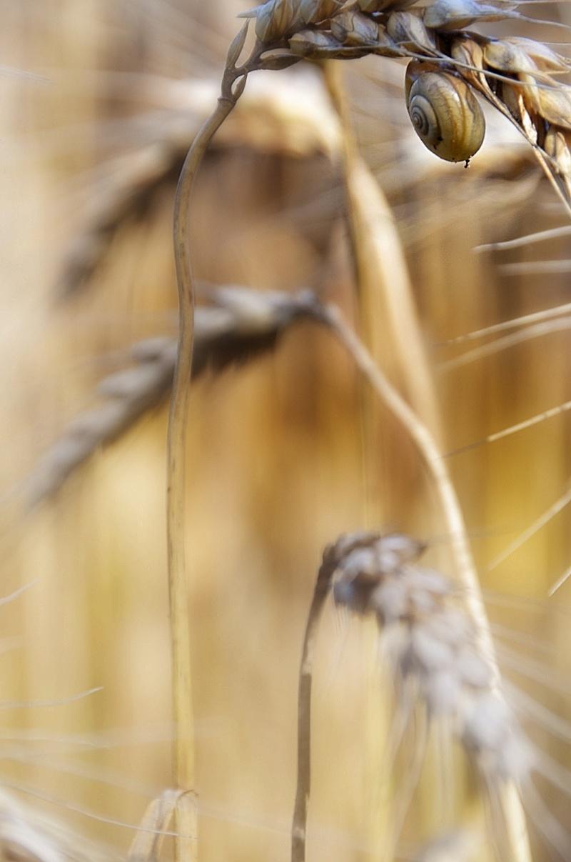 sulla spiga di grano