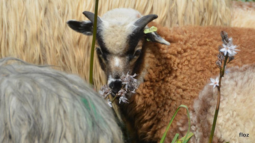 l'agneau et l'asphodèle