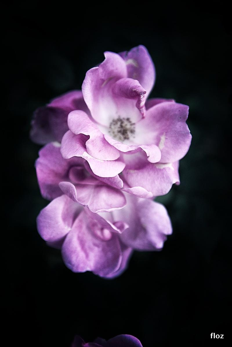 rose tardive