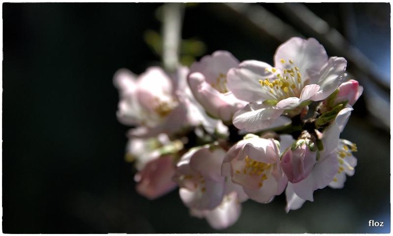 les amandiers sont en fleurs