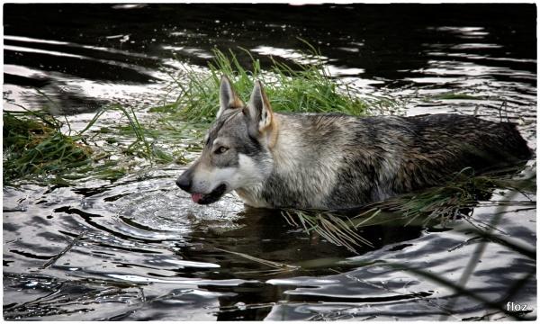 j'ai vu le loup!