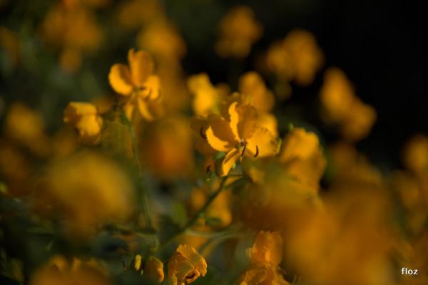 Senna Alexandrina (ou Cassia angustifolia )