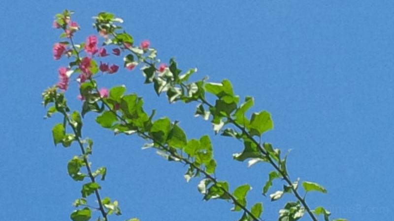 Bougainvillea Across Zanzibar Ni Blue Sky