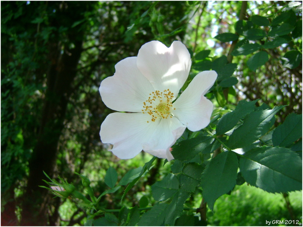 Floare de maces  Eglantine-rose