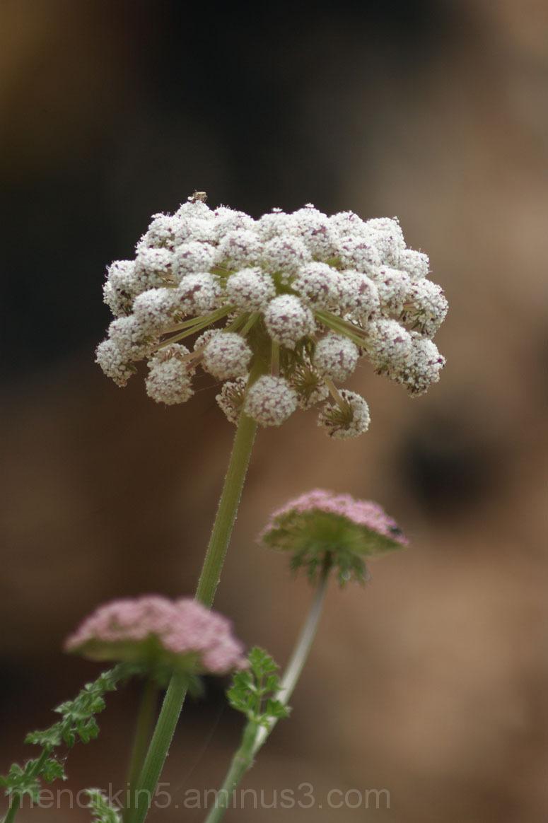 Flor a Rafalet