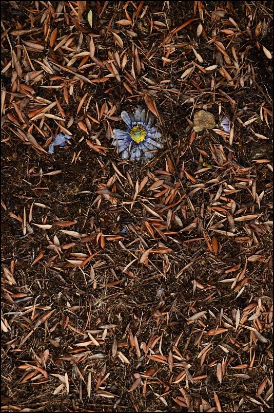La fleur de cimetière.