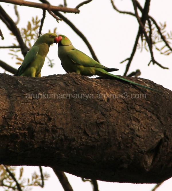 Courtship of Parakeet