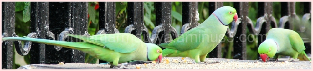 parakeet in angry mood