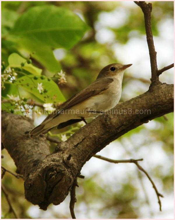 Ashy wren-warbler