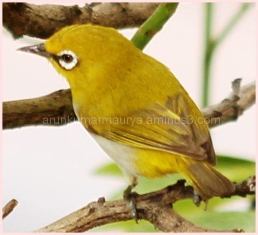 Brilliant yellow small bird