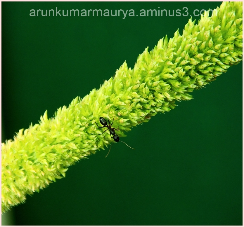 Grass inflorescence pollinated by Ant