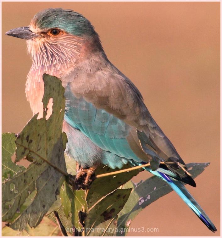 Indian Roller ((Coracias benghalensis))