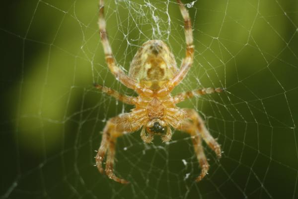 Gerden Spider