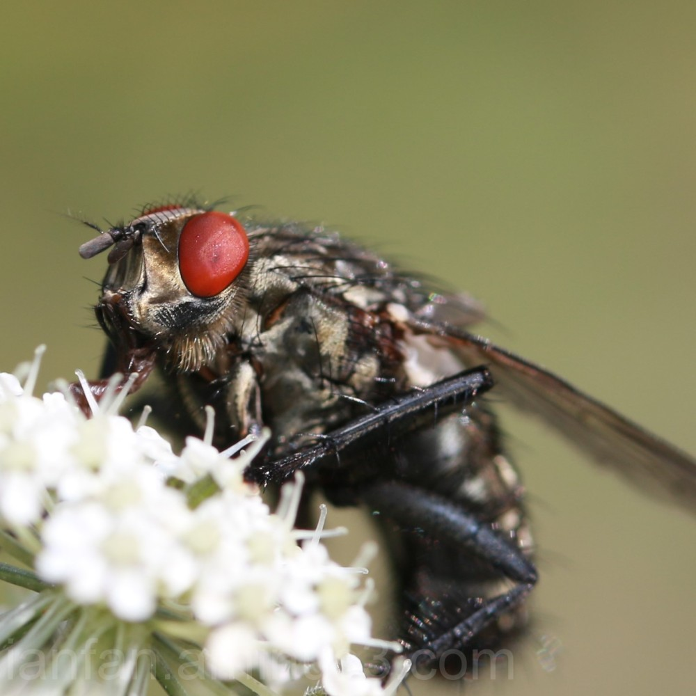 This was a very aggressive fly!