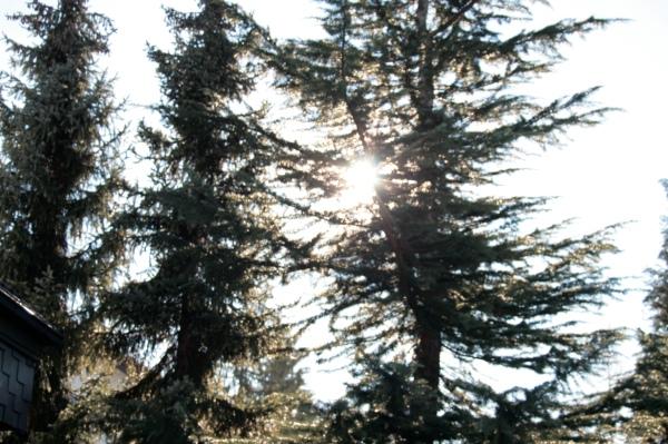 sunnysunny tree